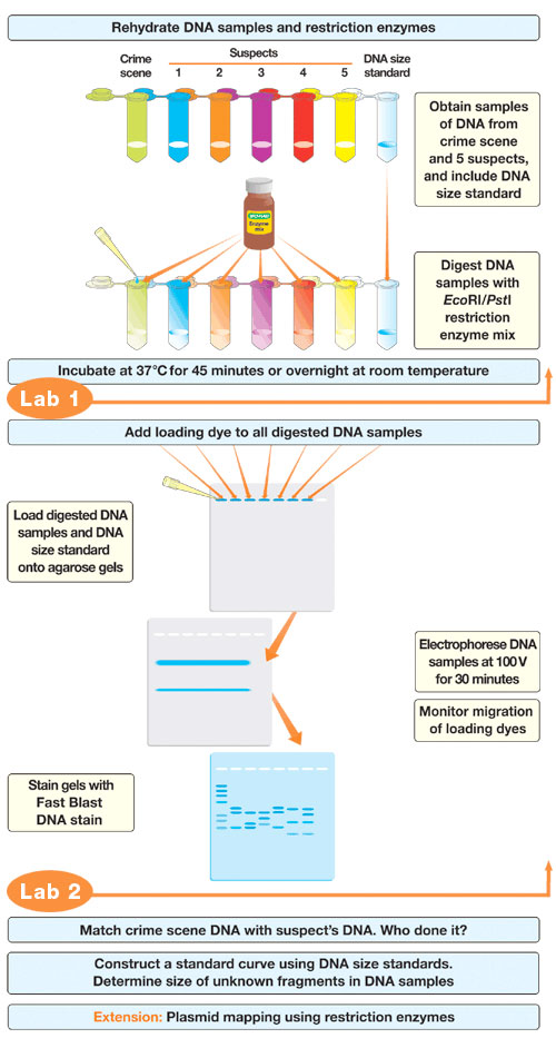 Forensic DNA Fingerprinting Kit Flowchart