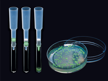 pGLO Bacterial Transformation plate and a Series of HIC columns showing the separation of GFP.
