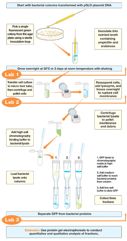 GFP Chromatography Kit Workflow