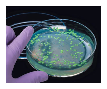 Transformed bacteria are grown on a petri dish