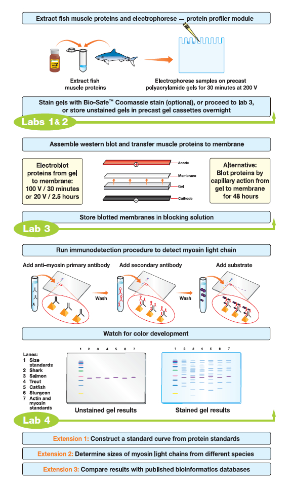 western blot protocol thesis Page 1 of 4 quantifications of western blots with imagej by hossein davarinejad this protocol will allow you to relatively (no absolute values) quantify protein bands from western blot.