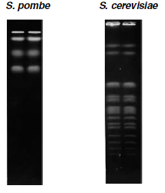 Yeast chromosomes separated by PFGE.
