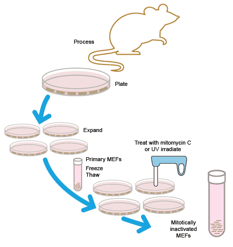 Preparation of mitotically inactivated MEF cells for use as feeder cells.