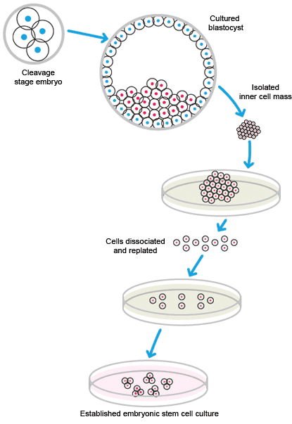 isolation and maintenance of stem cells
