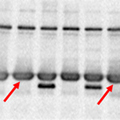 A blot with ghost bands – Western Blot Doctor - Signal Saturation Issues