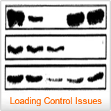 A blot with poor loading controls - Western Blot Doctor