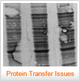 A blot with air bubbles - Western Blot Doctor