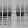 An unevenly transferred blot – Western Blot Doctor - Protein Transfer Issues