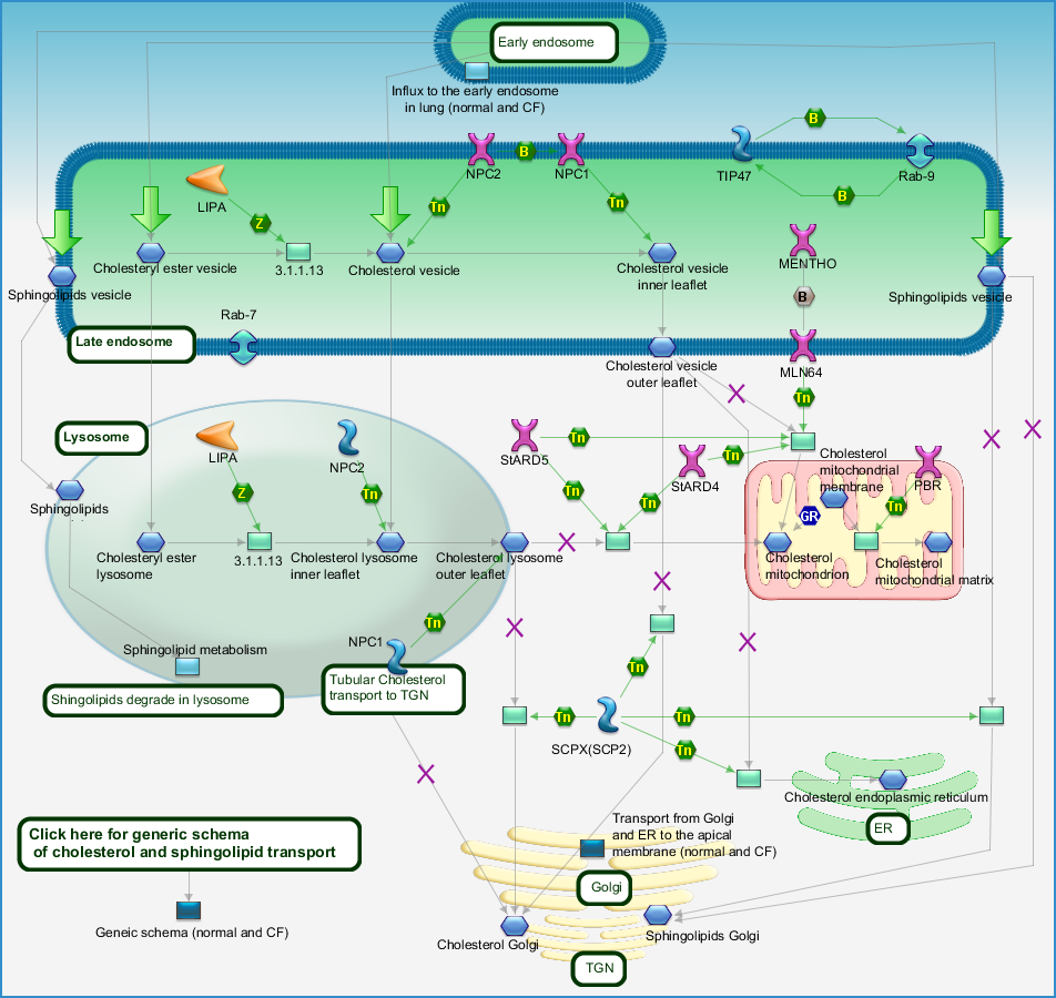 Cholesterol and Sphingolipids transport / Distribution to