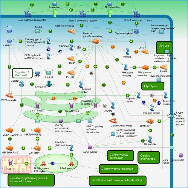 Development - Beta-adrenergic receptors signaling via cAMP Pathway ...