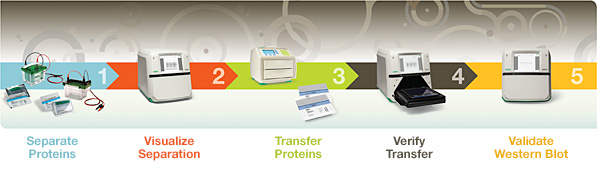 V3 Western Workflow Life Science Research Bio Rad
