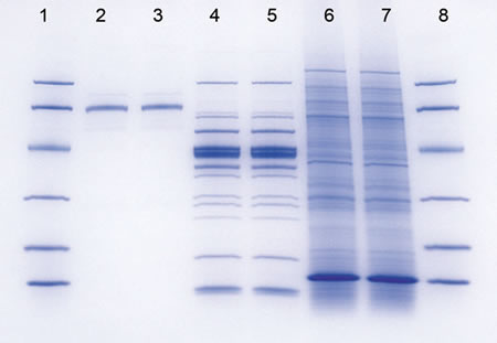 Protein Stained With Bio Safe Coomie Stain Gel Contains Sds Page Low Range Standards Lanes 1 8 Human Transferrin 2 3 Fish Lysate 4