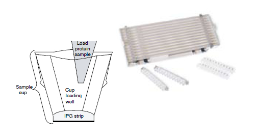 IPG Ready Strip Instructions Gel Electrophoresis