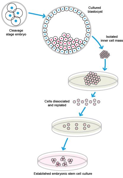 幹細胞研究 幹細胞の分離と維持