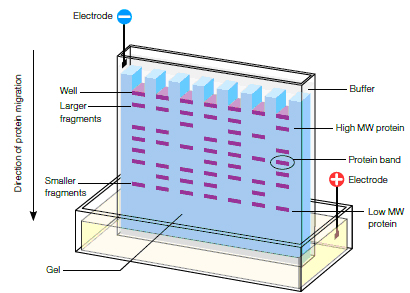 Protein Electrophoresis Methods | Applications & Technologies ...