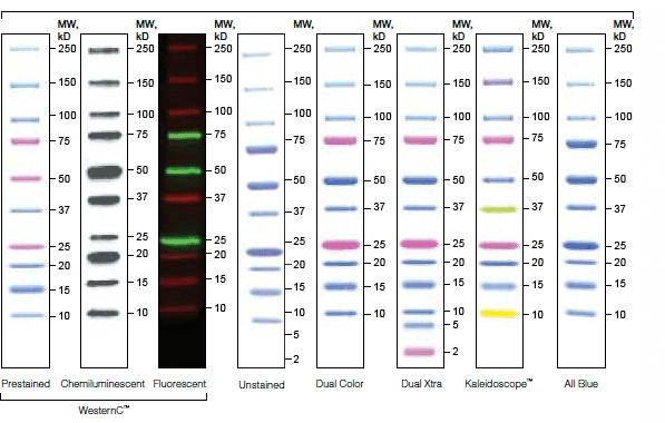 Introduction To Western Blot Protein Standards Lsr Bio Rad