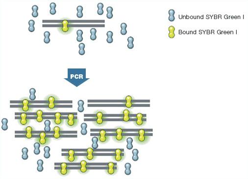 Sybr Green For Qpcr Bio Rad