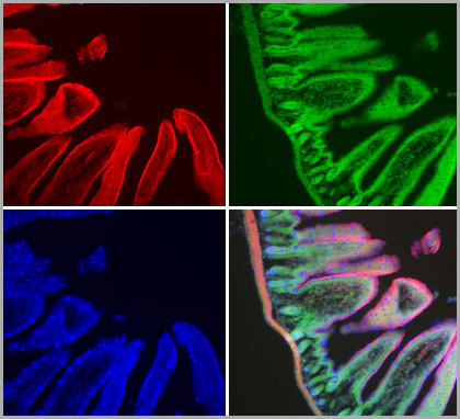 Mucus of goblet cells stained with Alexa Fluor 350 Wheat Germ Agglutinin (blue fluorescent lectin), filamentous actin stained with red-orange fluorescent Alexa Fluor 568 Phalloidin, and nuclei stained with SYTOX Green Nucleic Acid Stain in a section of mouse intestine.